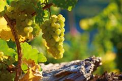 Riesling, Wein Deutschland, Moselwein